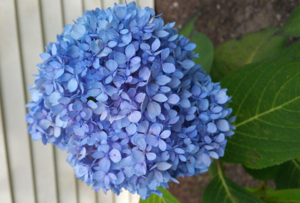 Fav Foto Friday Blue Hydrangea