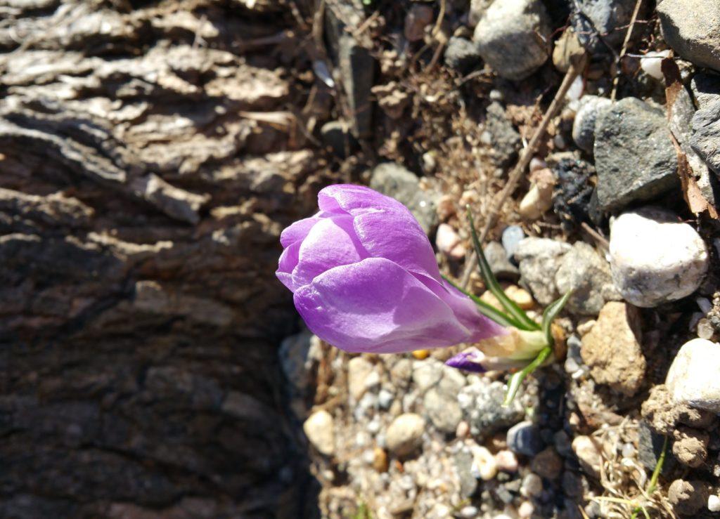First little purple crocus of spring