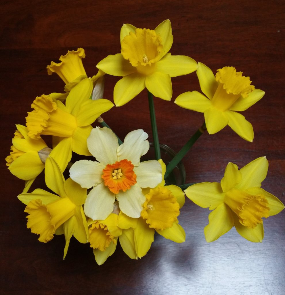 A small bouquet of daffodils given to me by a friend