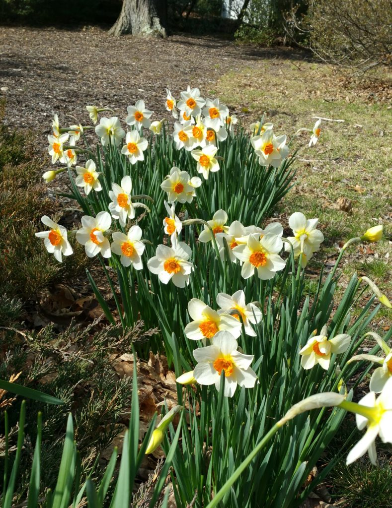 A patch of daffodils with the darker orange center