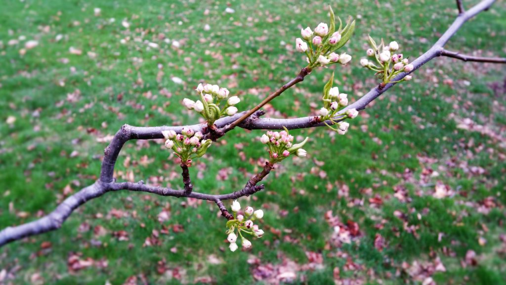 Buds opening up on a blooming tree