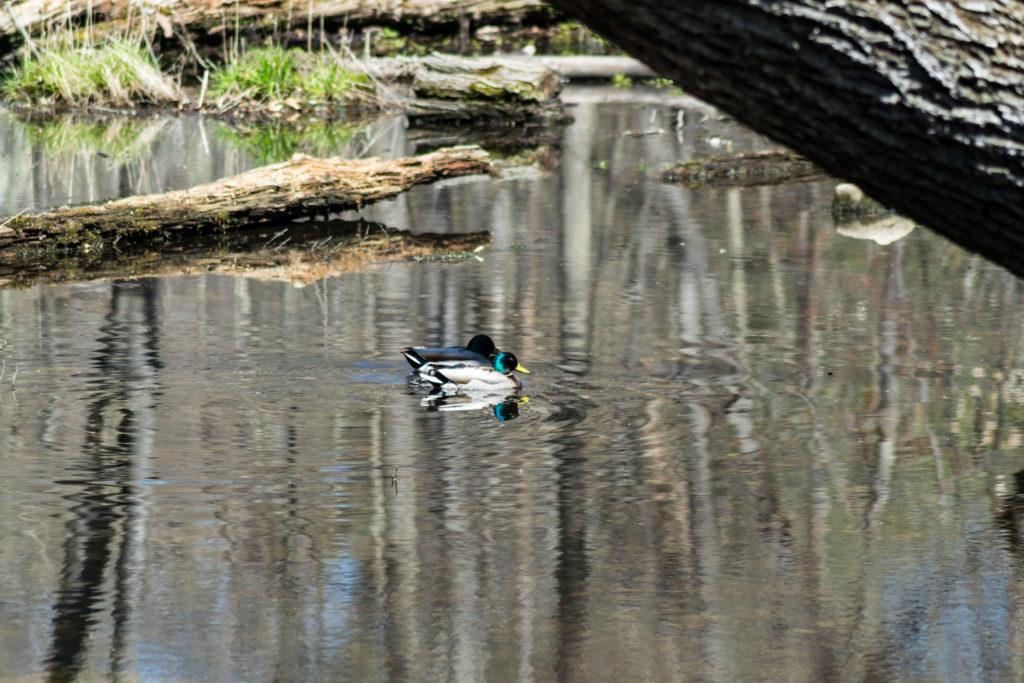 Two male mallard ducks on the water