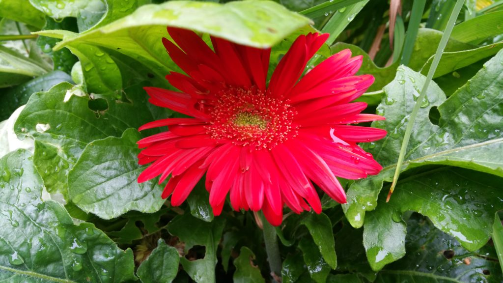 Gerber Daisy with a leaf roof