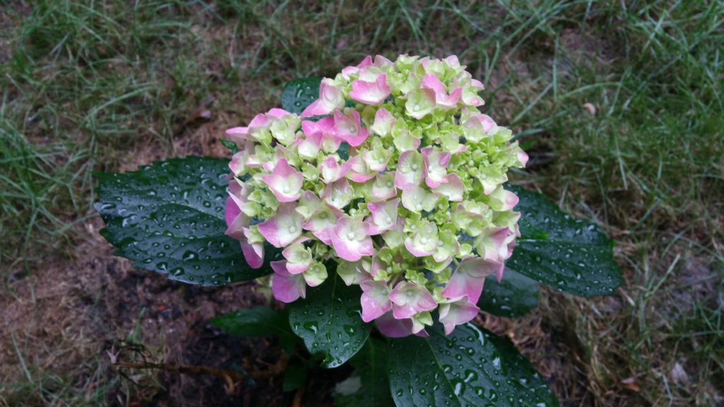 New hydrangea blossom with just hints of pink